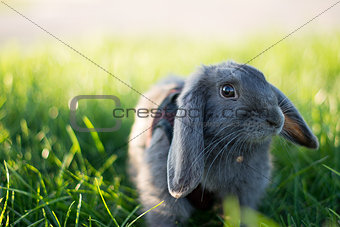 Gray rabbit in short green grass