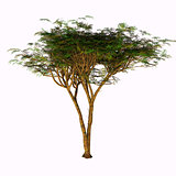Umbrella Acacia Tree