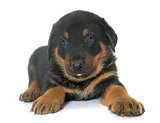 beauceron puppy in studio