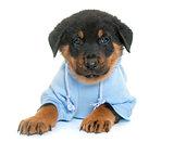 dressed beauceron puppy in studio