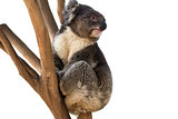 Koala bear isolated