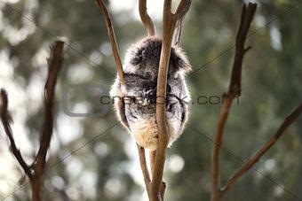 Australian koala bear sleep