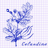 Greater celandine. Botanical drawing on exercise book background