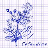Greater celandine. Botanical drawing on exercise book background