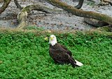 Beautiful American bald eagle