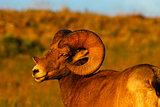 Bighorn Ram and the Sun's Last Rays