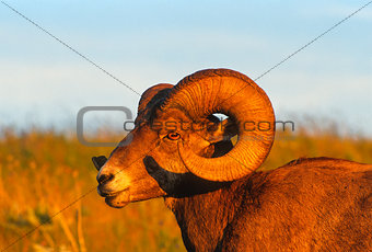 Close Profile Portrait Large Bighorn Sheep Ram