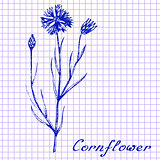 Cornflower. Botanical drawing on exercise book background