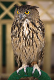 Portrait of a European Eagle-Owl