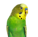 Close-up of Budgie with beak open on white background