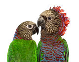 Couple of Red-fan parrot isolated on white