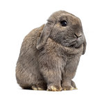 Side view of a Holland Lop rabbit isolated on white