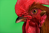 Headshot of an Ardennaise rooster against green background