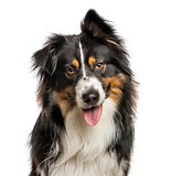 Close-up of Australian Shepard with one ear up