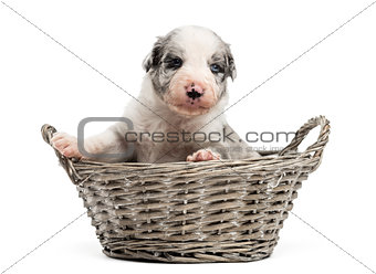 21 day old crossbreed puppy in a basket