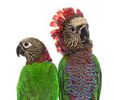 Close-up of a Couple of Red-fan parrot isolated on white
