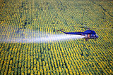 Agricultural works. Helicopter flying and spraying above sunflowers