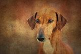 Dog Azawakh