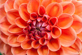 Orange flower in macro view