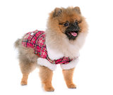 young pomeranian dog dressed