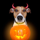 halloween pumpkin devil dog isolated on black