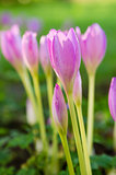 Pink blossoming crocuses , close up