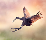 Limpkin Bird in Flight