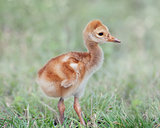Small Sandhill Crane Chick