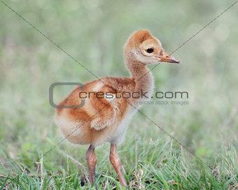 Small Sandhill Crane Chick