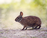 Marsh Rabbit in wetlands