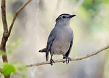 Gray Catbird Perching
