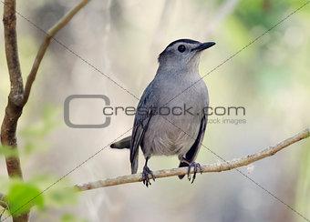Gray Catbird Perching
