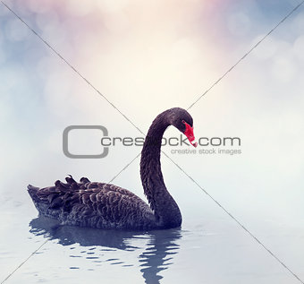 Black Swan Swimming