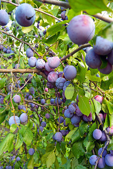 Branches of plum tree with lots of ripe fruits