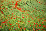 Field detail with poppies