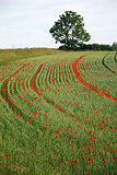 Wheel tracks with blossom poppies