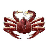 King Crab, Isolated Illustration