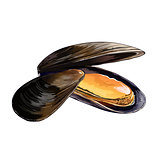 Mussels, Isolated Illustration