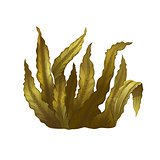 Sea Kelp, Isolated Illustration