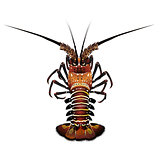 Spiny Lobster, Isolated Illustration