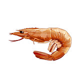 Pink Shrimp, Isolated Illustration