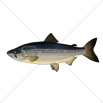 Chum Salmon, Isolated Illustration