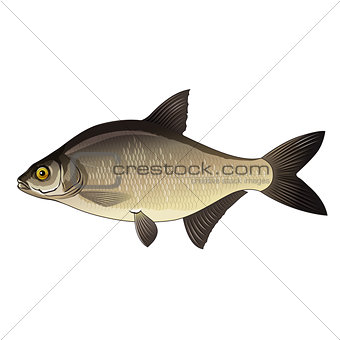 Bream, Isolated Illustration