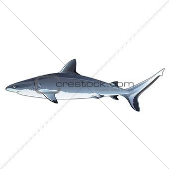 Gray Shark, Isolated Illustration
