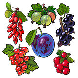 Garden berries - red black currant gooseberry barberry hawthorn plum
