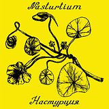 Nasturtium hand drawn sketch botanical illustration