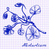 Nasturtium. Botanical drawing on exercise book background
