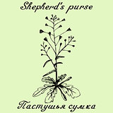 Shepherd's purse hand drawn sketch botanical illustration