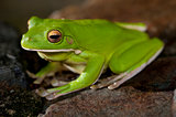 Single little green tree frog
