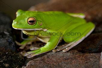 Single little green tree frog